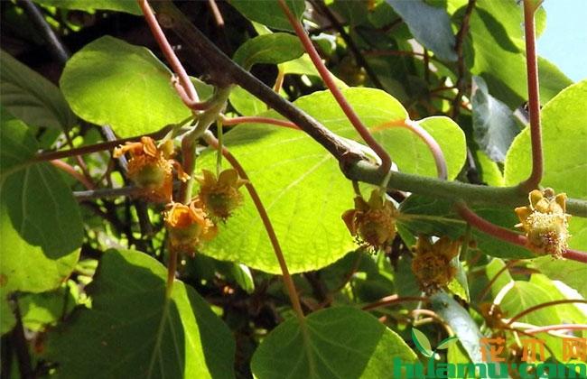 猕猴桃疏花技术有哪些?