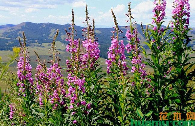 新疆奇台以花为媒奏响全域旅游曲