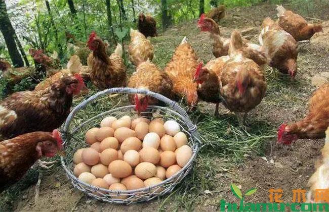 这位村民发展林下养鸡,成功致富!