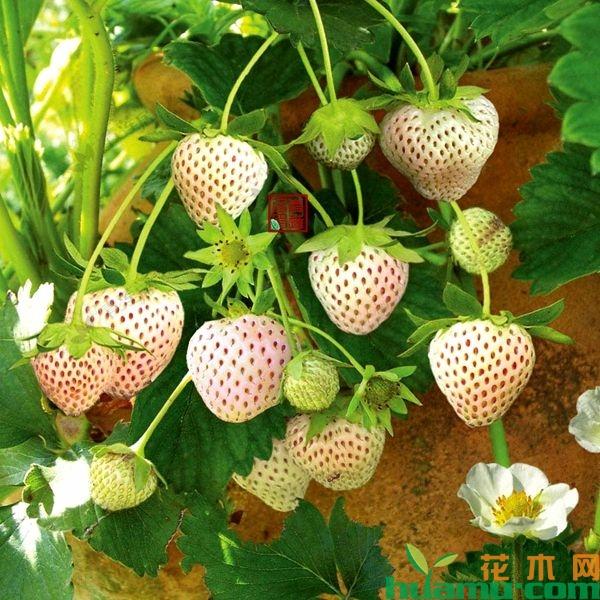 白草莓品种那么多怎么挑选?