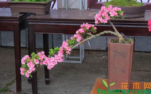 杜鹃花盆景怎么养可以多开花?