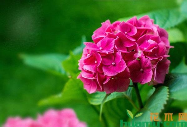 盆栽绣球花怎么养