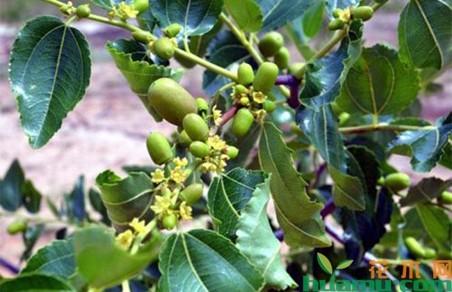 枣树花期用什么药能有效提高坐果率?