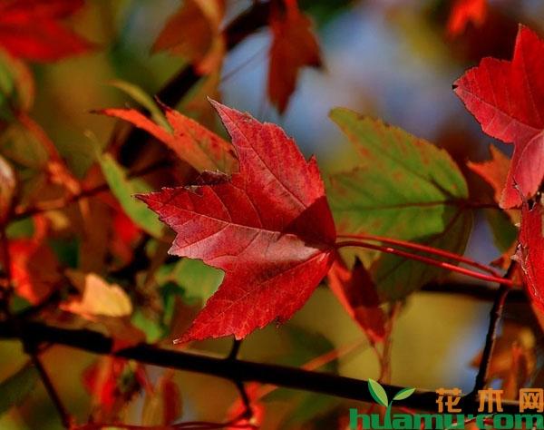 这几种彩叶苗木是观赏界的新晋网红!