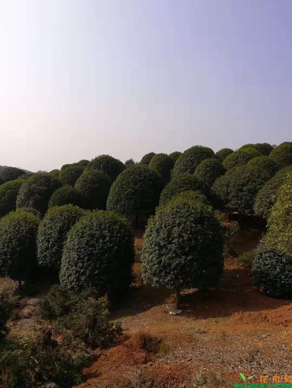 江西奉新:绿化苗木行情需求回暖