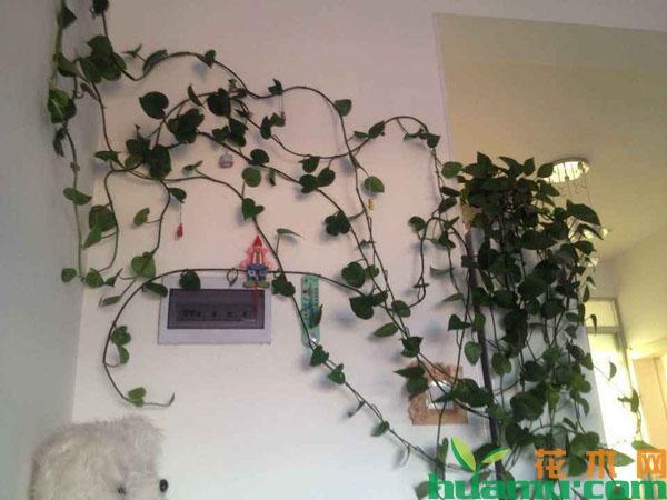绿萝怎样养能爬墙?