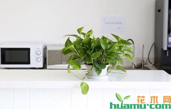 盆栽绿萝的养殖技术