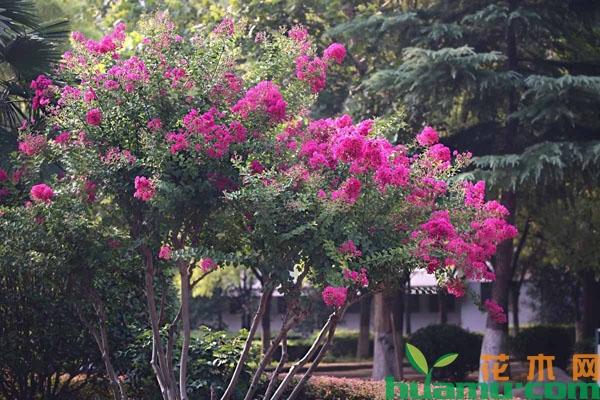 紫薇如何延长花期?