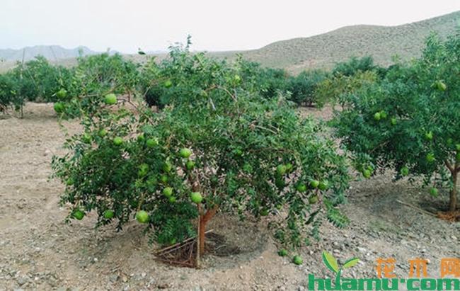 文冠果树繁育技术
