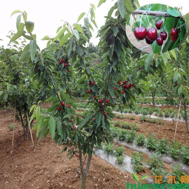 黑珍珠樱桃种植技术