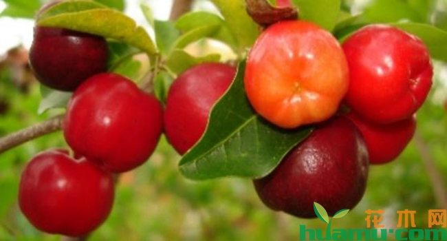 巴西樱桃树几年能挂果