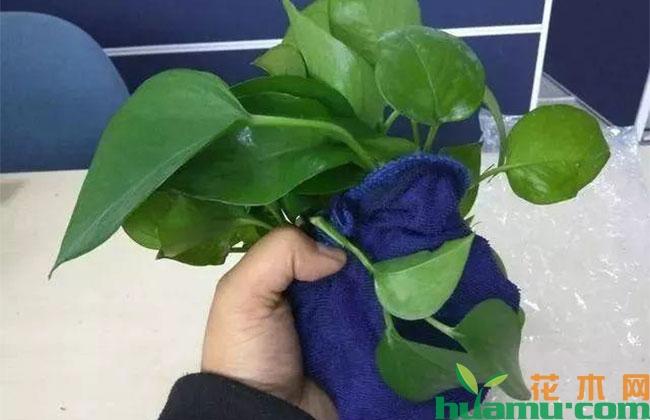 """湿毛巾""""捂""""茎,绿萝一星期长出大白根"""