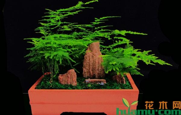 文竹自然矮化的方法