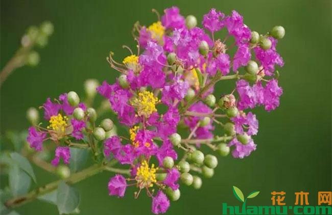 紫薇夏季这么剪开花多