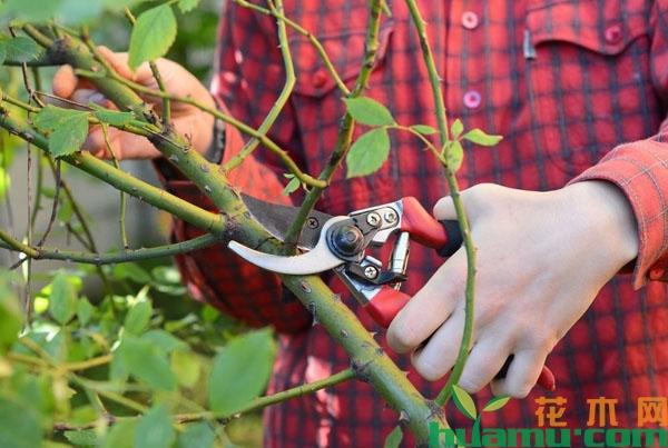 怎样通过修剪培养月季花笋芽?