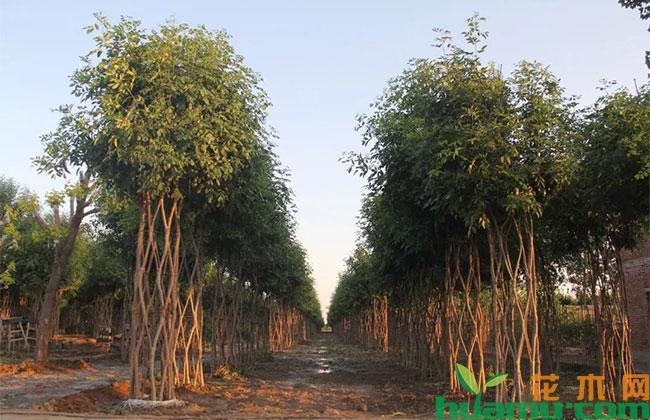 """40次嫁接,40个树洞,他给数万棵大树""""打""""出了""""中国结"""""""