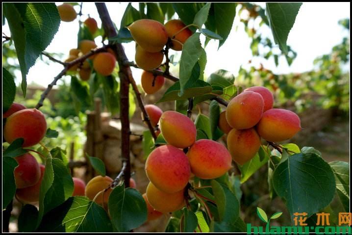 杏树病虫害及防治方法