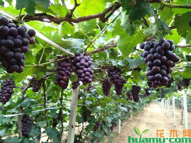 巨峰葡萄种植技术及种植注意事项