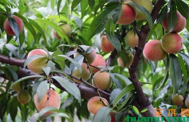 桃树病虫害及防治方法
