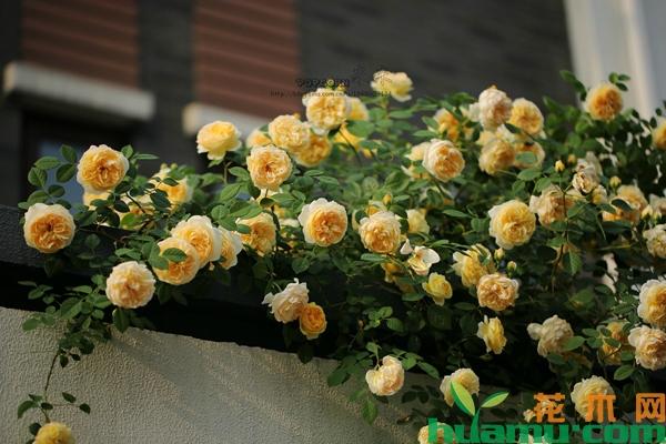 月季花造型花柱的管理方法
