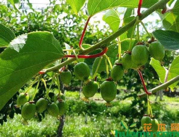 软枣猕猴桃的种植技术