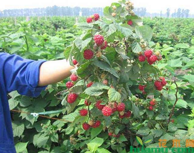 树莓苗多少钱一棵