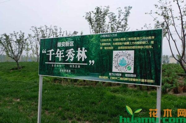雄安3.9万亩生态游憩林即将开建,这些苗木上榜,你种了吗?