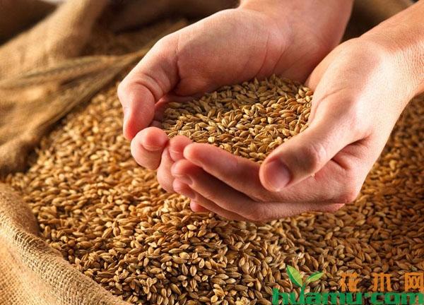 当前小麦的收购价格是多少?