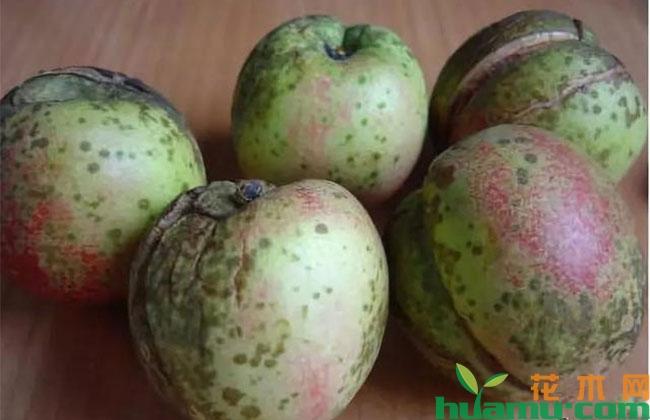 桃树夏季常见病害防治