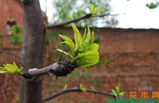 枣树扦插技术要点,盆栽枣树管理方法