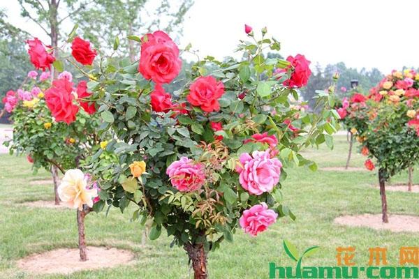嫁接月季花怎样选择接穗?