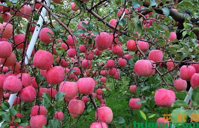 天津蓟州:苗木市场延续去年火热行情