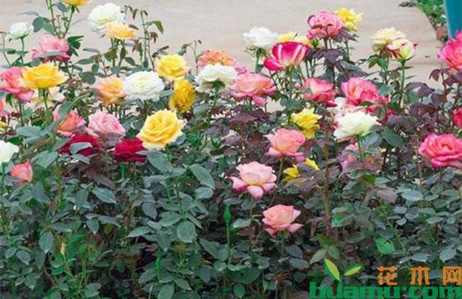 怎样种植玫瑰?
