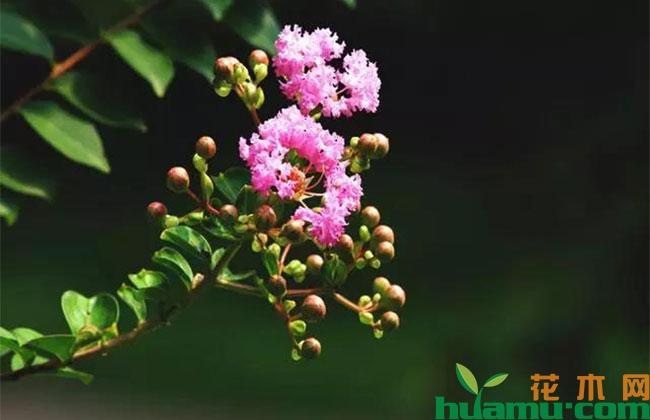 紫薇的种植方法有哪些?