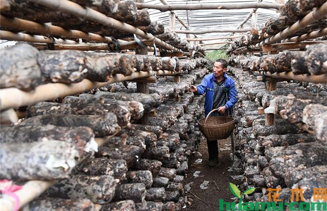 香菇种植技术详解
