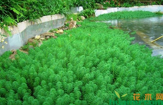 水生植物行情上扬