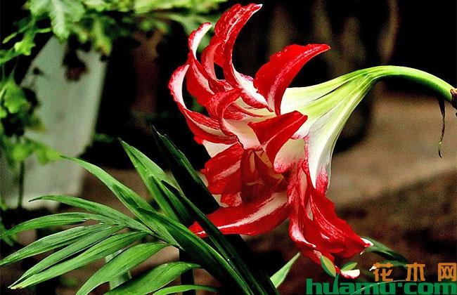 朱顶红切花市场亟待开发 国产化生产迫在眉睫
