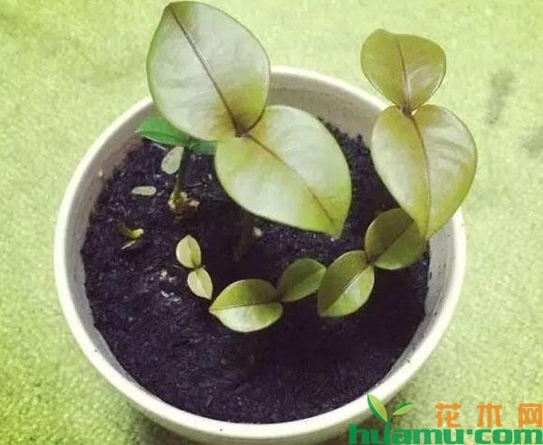 山竹盆栽的种植技术