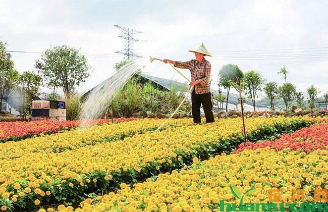 甘肃甘州戈壁花卉产业崛起