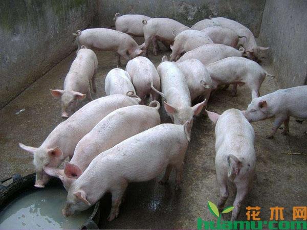 2019年养猪补贴政策