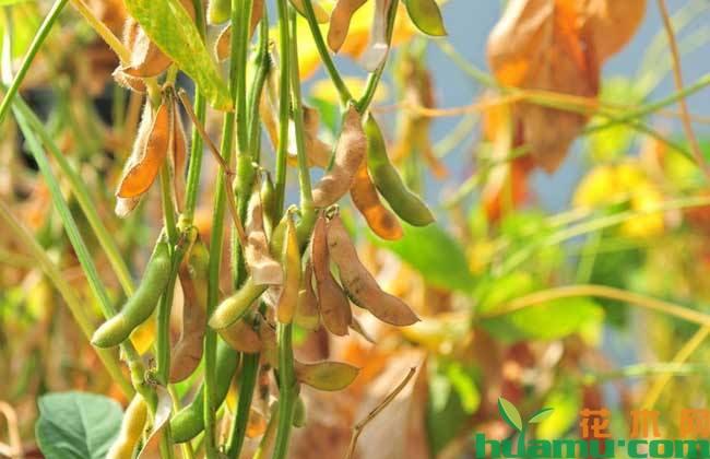 黄豆种植技术详解