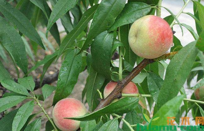 桃子裂果什么原因?怎么预防?