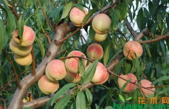 桃树夏季管理技术