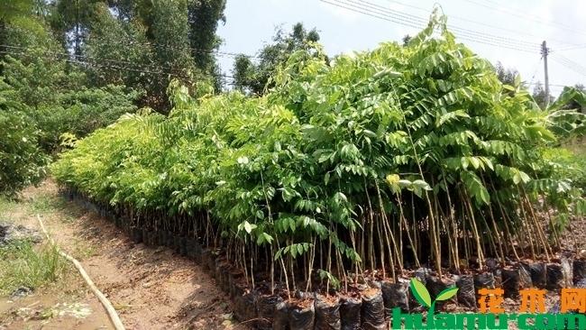 黄花梨树苗多少钱一棵?