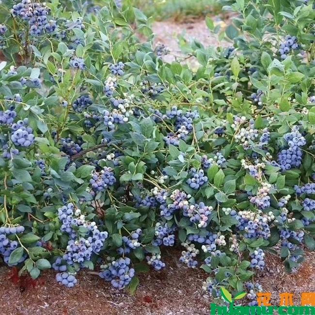 蓝莓苗多少钱一棵?