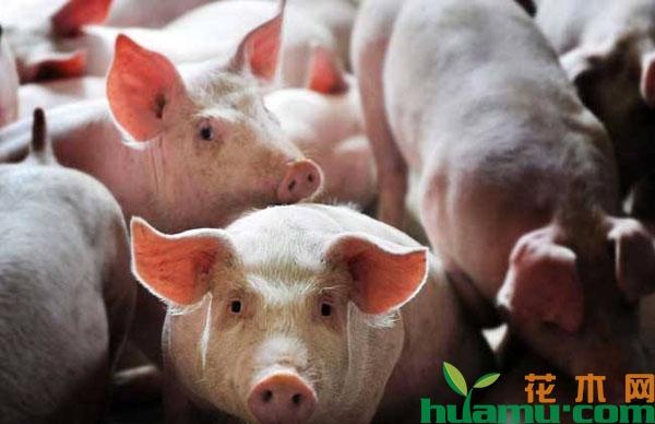 猪价上涨,猪农想复产,这些政策要提前了解!