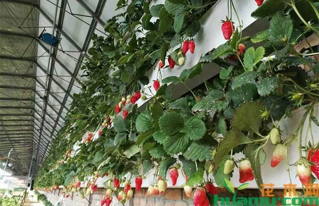 草莓立体种植技术