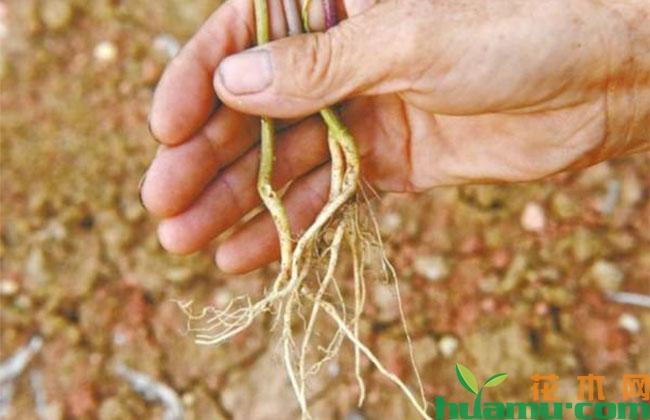 人参的种植技术和方法介绍