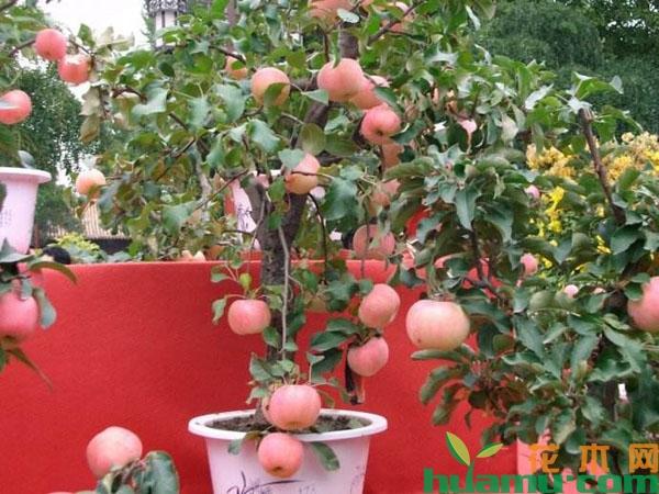 苹果树盆栽的施肥方法