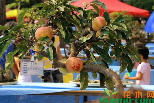 苹果树盆栽这样养可以多结果